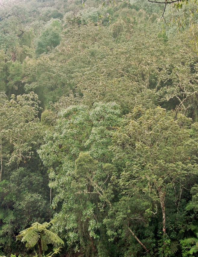 Bosque higrófilo de Zapotén. Destacan Schefflera tremulus el helecho Cyathea sp. (JRMB, 8/10/2004)